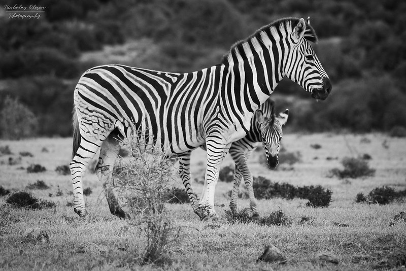 South Africa | Addo Zebra