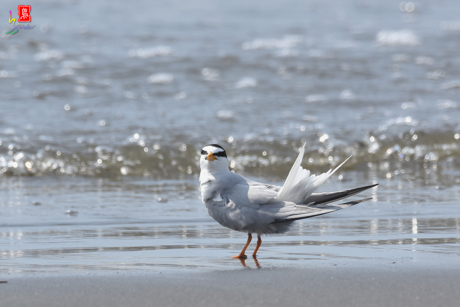 Little_Tern_3995