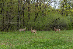 deer in penitentiary glen