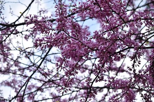 Redbud tree