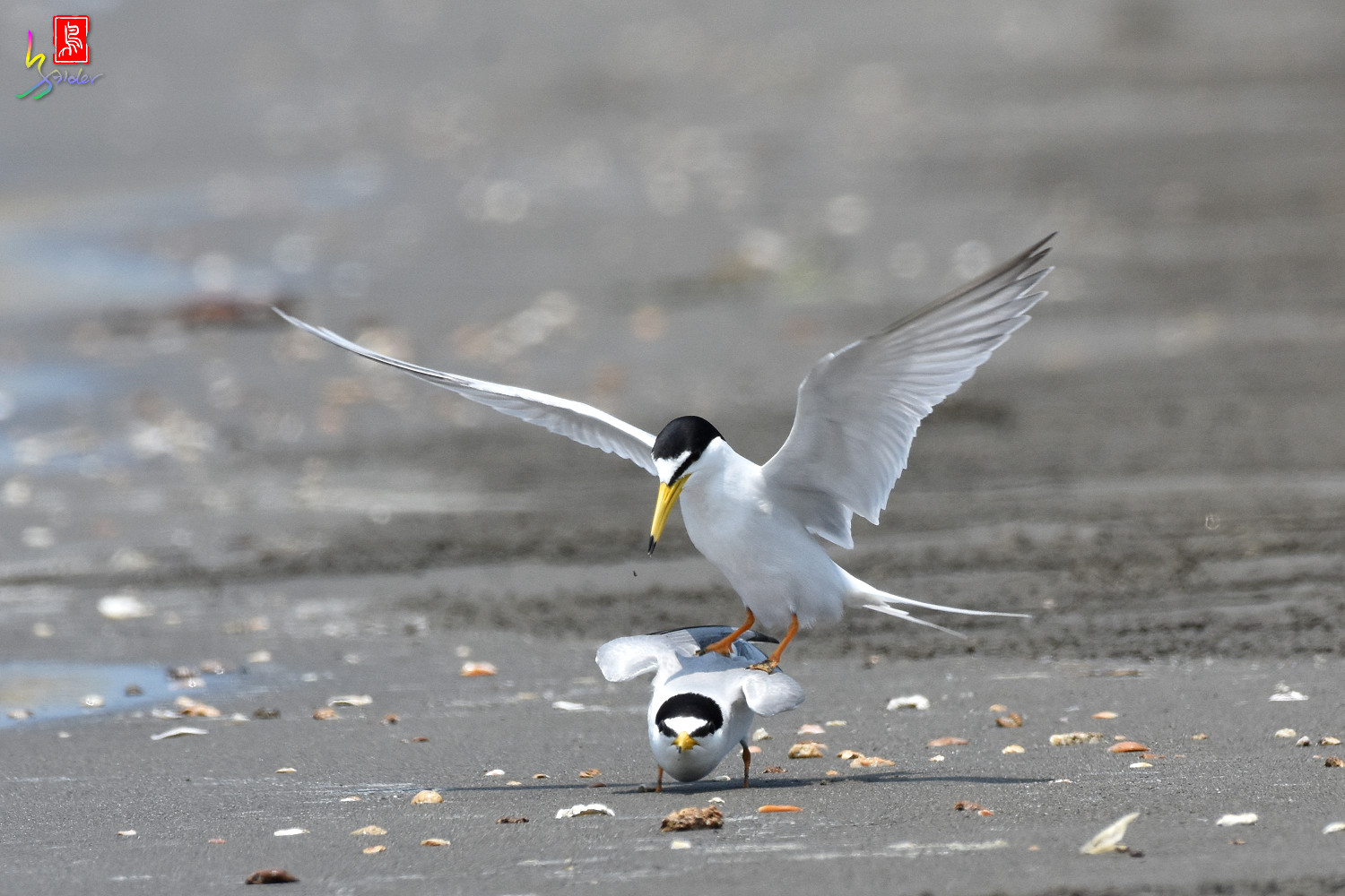 Little_Tern_4868