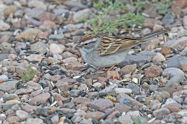 Chipping-Sparrow-6-7D2-042418