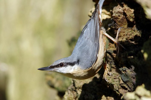 IMGP2487c Nuthatch, Lackford Lakes, April 2018