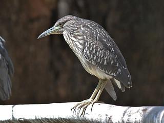 Black-Crowned Night Heron (J)