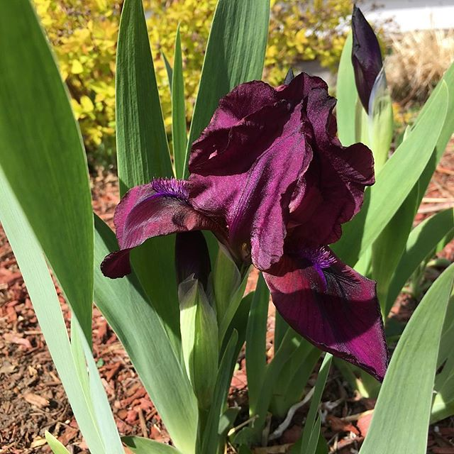 First iris of the year! 💜