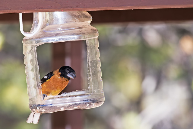 Grosbeak-in-a-jar-30-7D2-051018