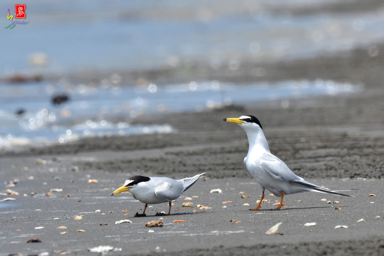 Little_Tern_4897