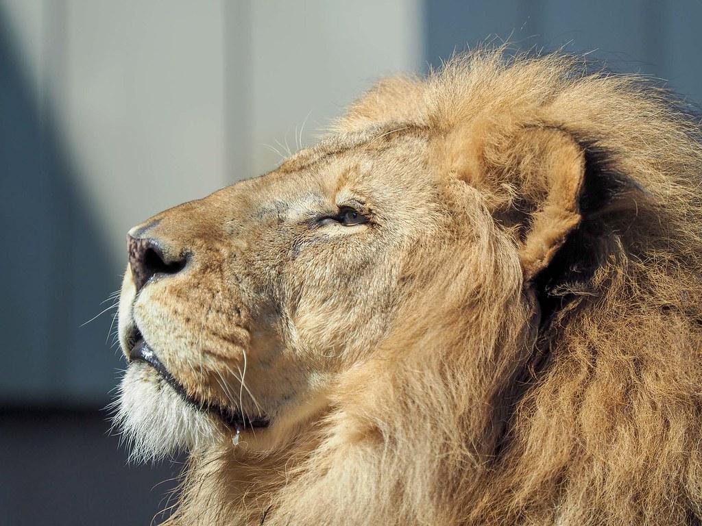 ライオン/420mm相当