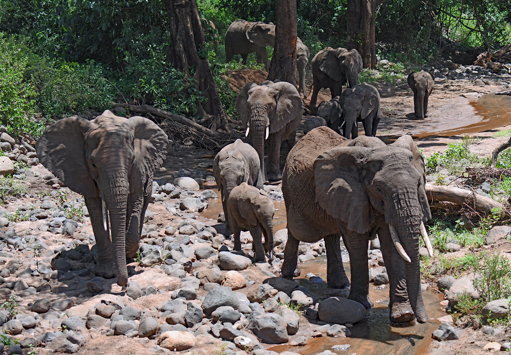 Elephants coming down to a stream