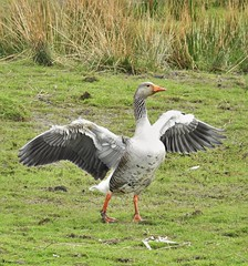 Greylag Goose - Druridge Ponds Wetlands