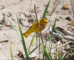 Yellow Warbler (Dendroica petechia)   on 2018 Birdathon P5130010