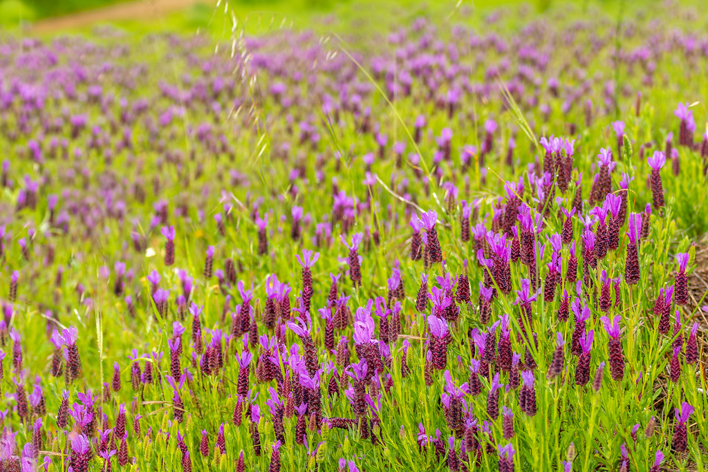 French Lavender In the Algarve Hills