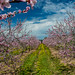 apple_blossoms-8_MaxHDR by old_hippy1948