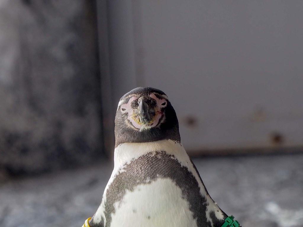 フンボルトペンギン/840mm相当