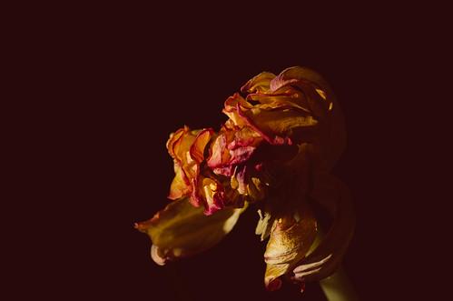 113 Tulip