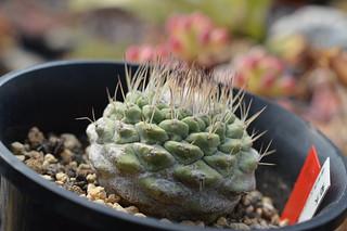 DSC_7986 Strombocactus disciformis ストロンボカクタス 菊水