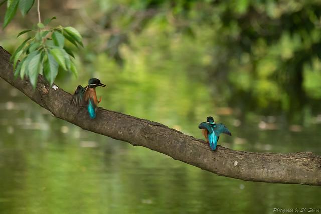 20180516-kingfisher-DSC_2347