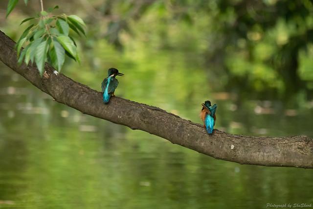 20180516-kingfisher-DSC_2349