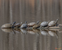 Northern Red-bellied Cooters and Red-eared Sliders Sunning (DAR024)