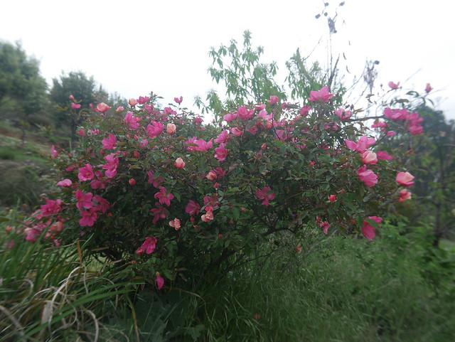 les jardins sont beaux en mai ! - Page 2 41379186654_6a99c86847_z