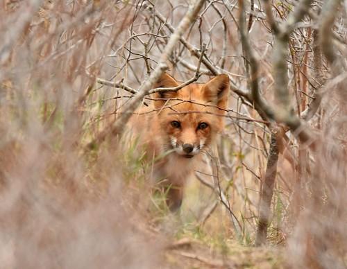 Momma fox
