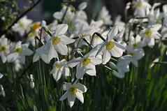 Первоцветы (Primroses)