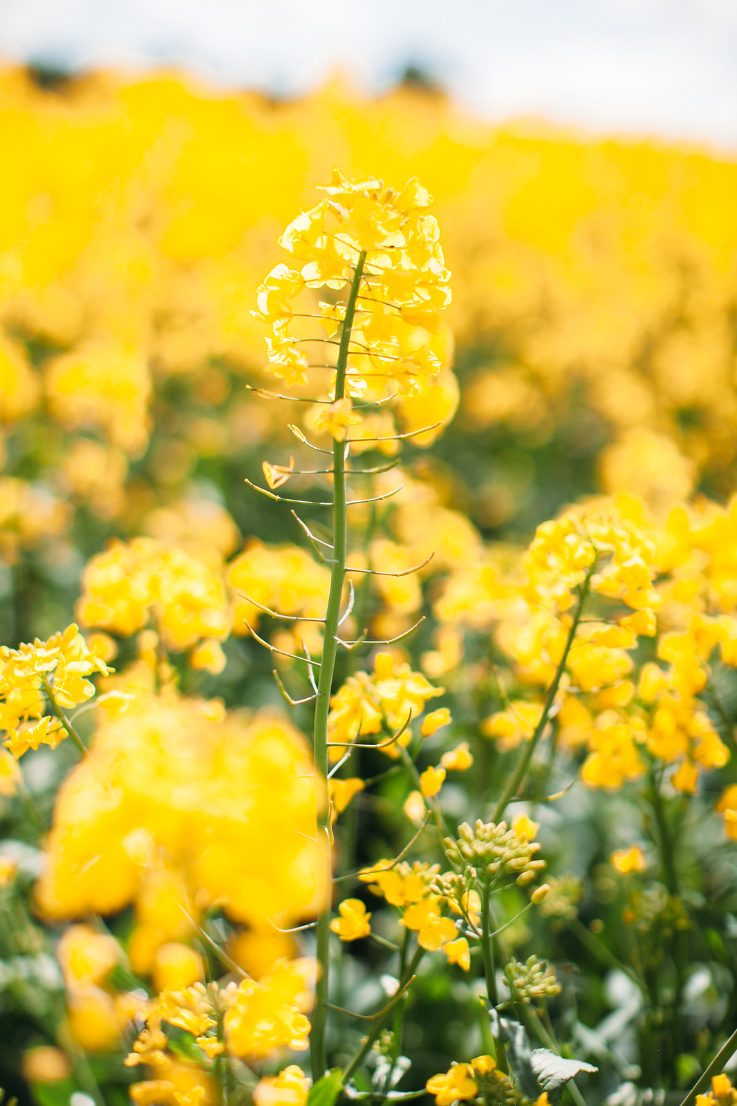 yellow dress field-13