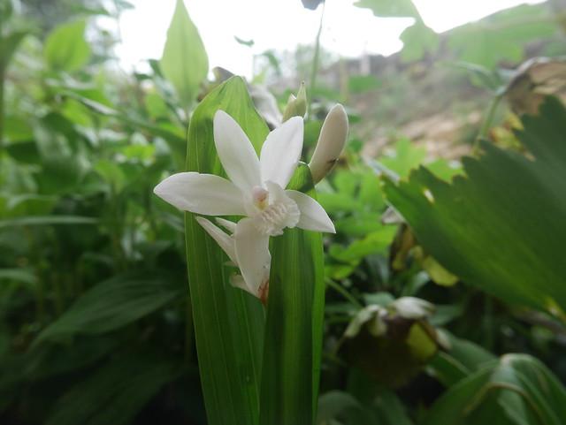 Bletilla striata - orchidée du Japon - Page 4 42141781191_dd40e3e70a_z