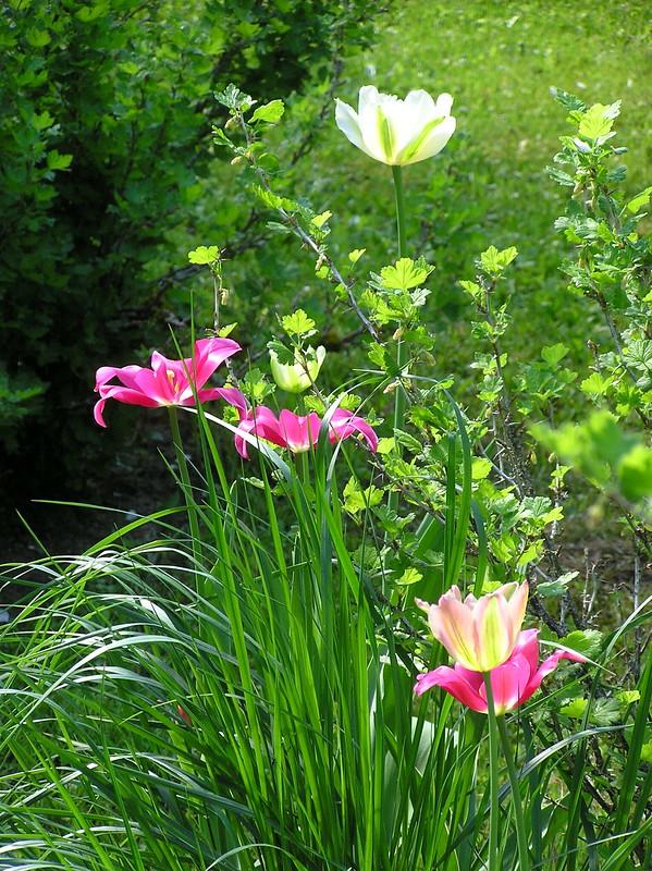 Viridaflora tulips