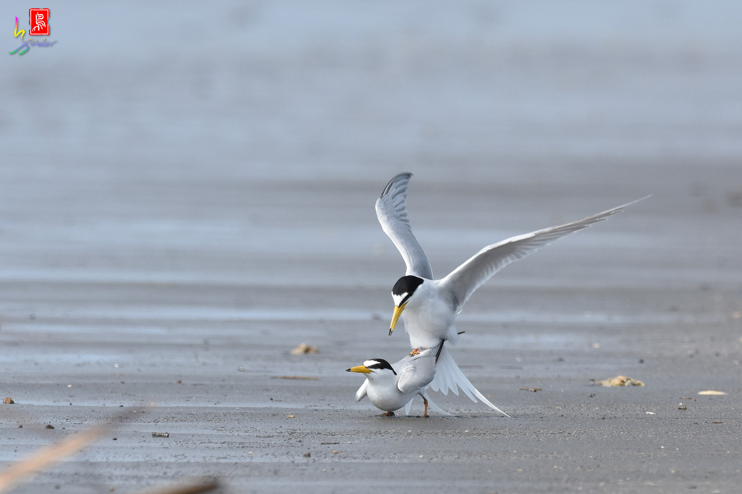 Little_Tern_4352