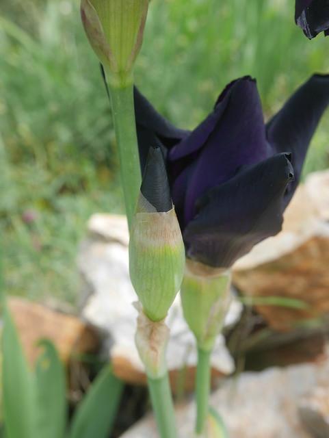 Iris noir-violet 2 de Cugan - Iris 'Black Swan'  42237969042_77872394da_z