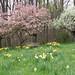 Daffodil Meadow in May