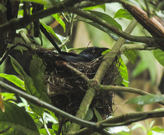 Red-bellied Grackle (Hypopyrrhus pyrohypogaster) nesting