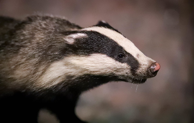 Badger, Canon EOS-1D X MARK II, Canon EF 300mm f/2.8L IS