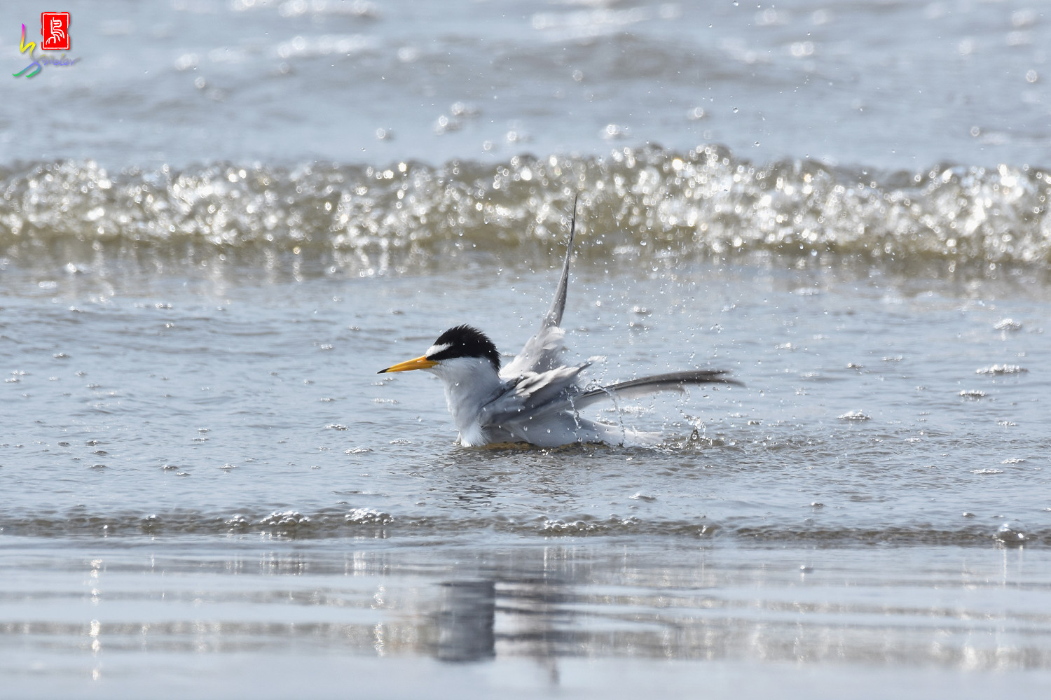 Little_Tern_3983