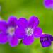 Perennial geranium in our garden