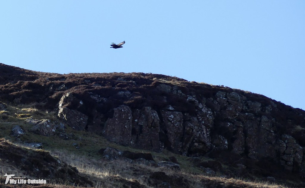 P1140415 - Golden Eagle, Isle of Mull
