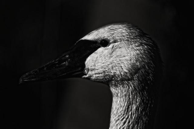 The Dark Swan