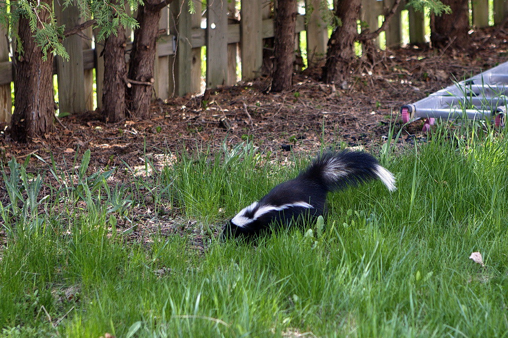 Skunk in our backyard(1)