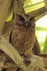 Otus lempiji (Sunda Scops Owl) - PRP, Singapore
