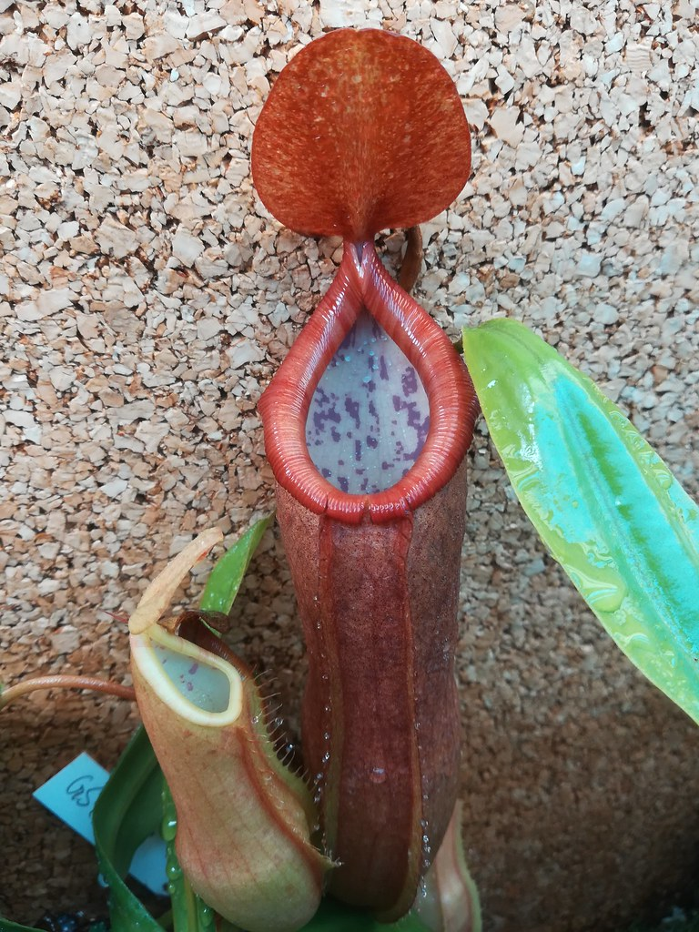 Nepenthes x???