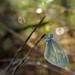 papillon dans la rosée du matin - Myon by francky25
