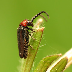 Little Soldier Beetle
