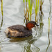 Little Grebe, Dabchick by Andrew Mawby