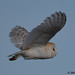 barn owl 5 2018 in flight