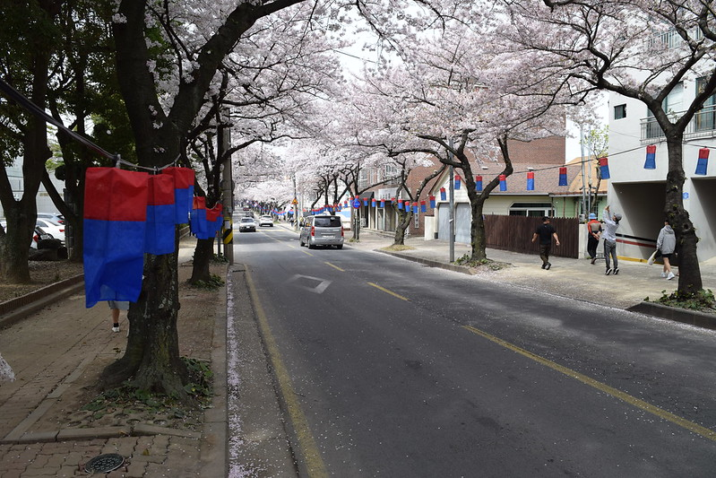 Jeju CHerry Blossoms (4)