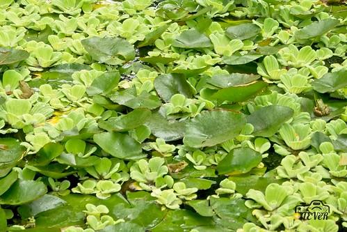4 ranas verdes sobre los verdes nenúfares