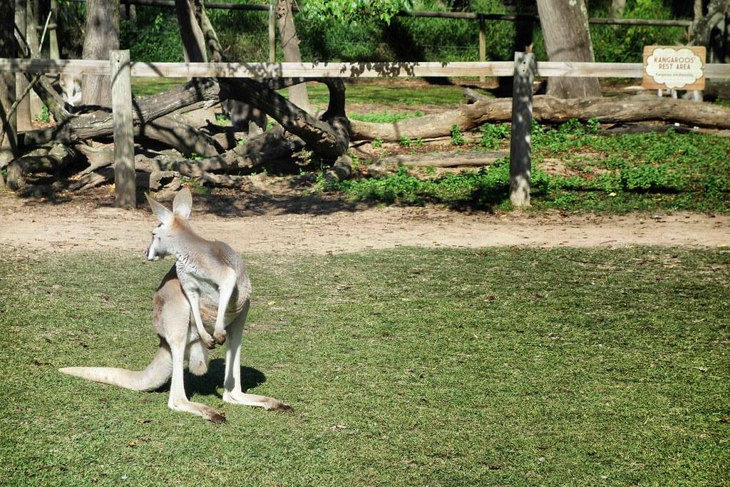 Brisbane - Lone Pine - Kangourou 1