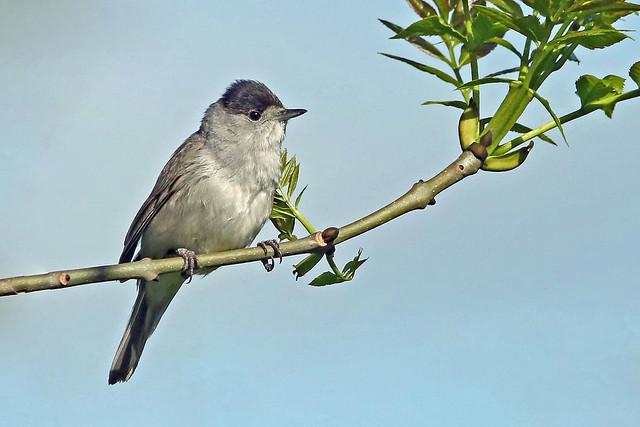 A Male Blackcap. (Sylvia atricapilla).