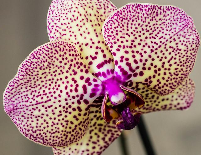 la orquídea de mi mamá